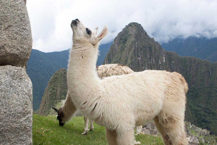 Foto de dos llamas en Machu Picchu